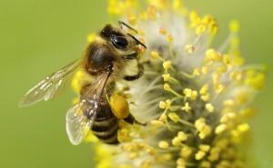 Bees Matter Honey Bee